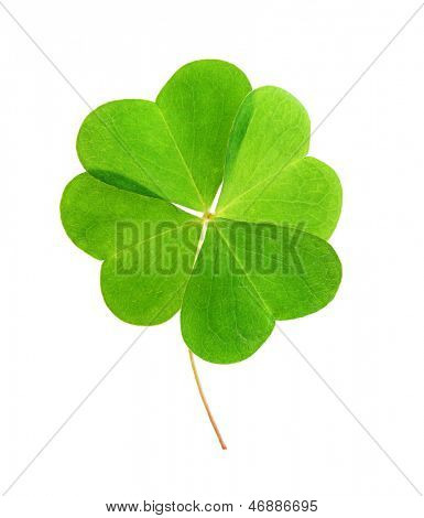 Green clover leaf isolated on white background.