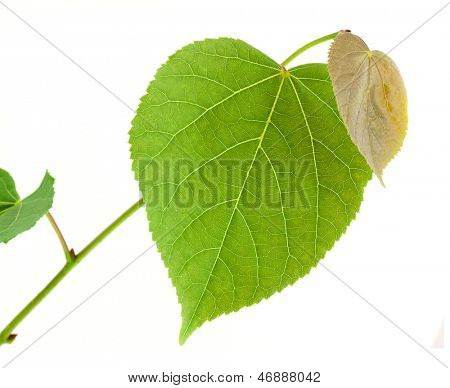 Linden tree branch isolated on white background