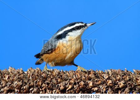 Red-breasted Nuthatch On A Branch