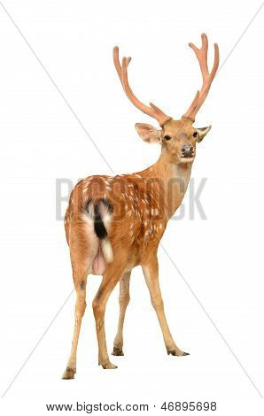 Male Sika Deer Isolated
