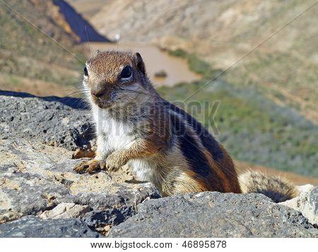 Meercat Climbing Up A Rock