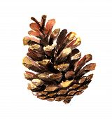 Fir Cone Watercolor