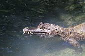 picture of crocodilian  - head shot of caiman in the water - JPG