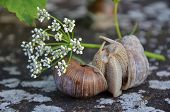 stock photo of hermaphrodite  - Couple of Burgundy snails on a wall in an intimate situation - JPG