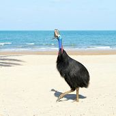 Wild Cassowary bird on tropical beach