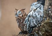 image of screech-owl  - An Eastern Screech Owl in a hallowed out tree - JPG