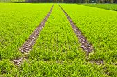 foto of veer  - Tire Path In green Field in springtime - JPG
