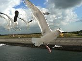 stock photo of pecker  - flying seagull with food in the pecker