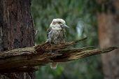 picture of kookaburra  - Kookaburra  - JPG