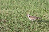 image of killdeer  - A Killdeer bird walking through some grass with it - JPG