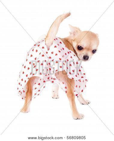 cute chihuahua puppy with funny panties isolated