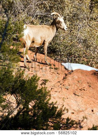 Wild Animal Alpine Mountain Goat Sentry Protecting Band Flank Forest