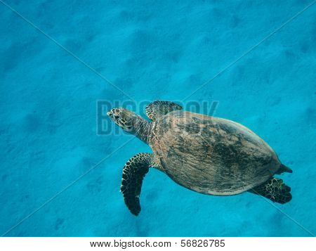 Hawksbill Sea Turtle Swimming Over Sand Bottom