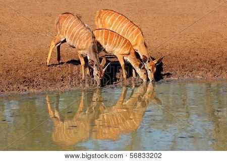 Nyala antelopes (Tragelaphus angasii) drinking water, Mkuze game reserve, South Africa