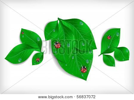 Green Leaves With Ladybirds And Waterdrops