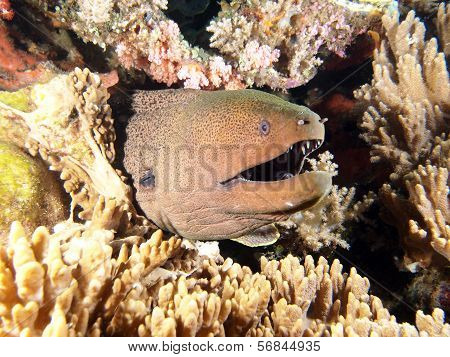 Giant Moray Eel coming out of its home