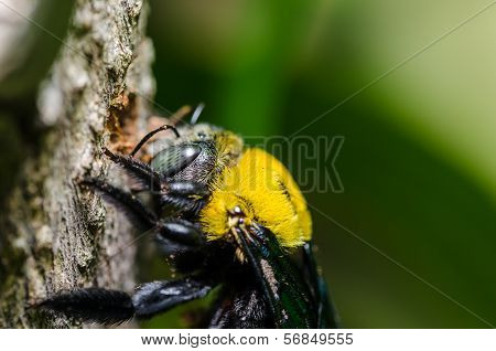 Carpenter Bee In  Nature