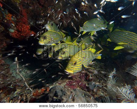 Shoal of Yellow Ribbon Sweetlips Fish