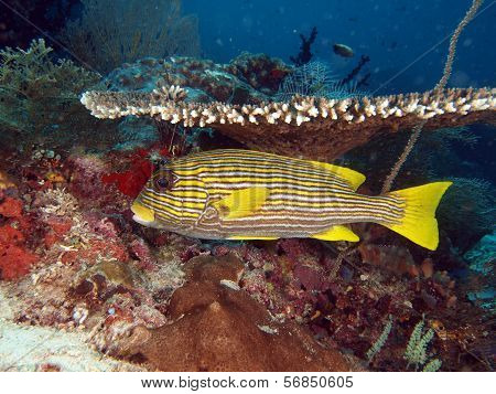 Yellow Ribbon Sweetlips Fish under table coral