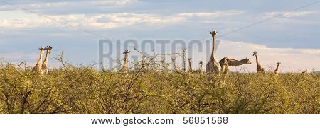 Group Of Giraffes In Etosha, Namibia