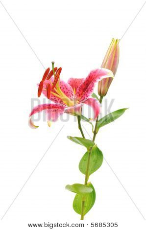 stargazer lilies isolated on white background