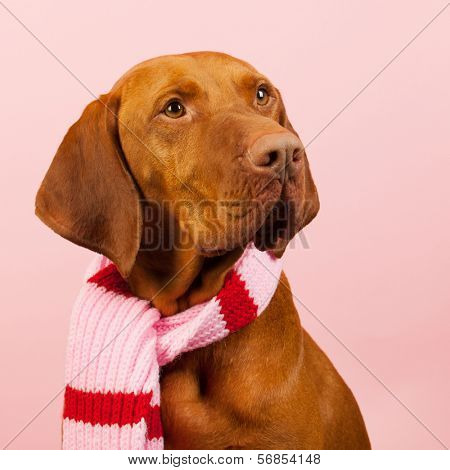 Hungarian or Magyar Vizsla dressed for the winter isolated over blue background