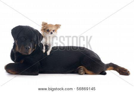 Puppy Rottweiler And Rottweiler