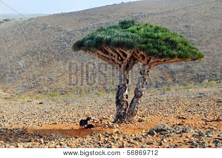 Dragon Blood Tree