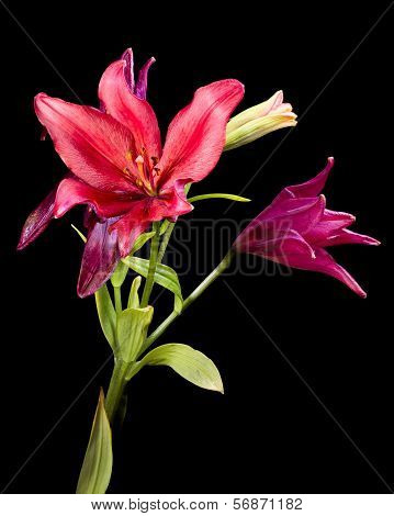 Daylilies Isolated On A Black Background