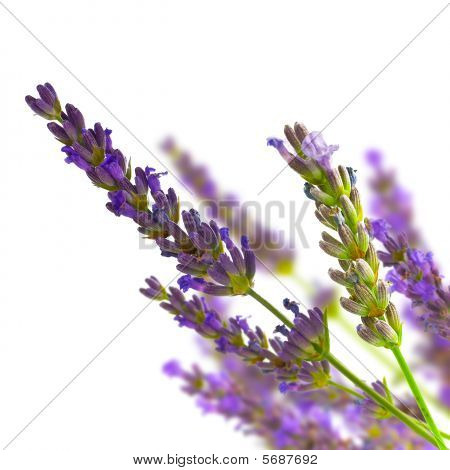 Bunch Of Lavender Isolated Over White