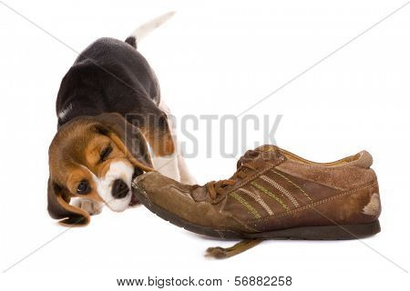Seven weeks old cute little beagle puppy chewing on an old shoe