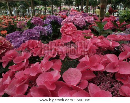 Nursery Hydrangeas