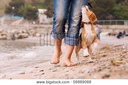 Puppy Beagle Running Near It Owner Legs