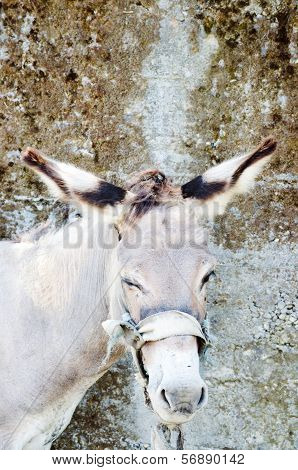 Head Of Donkey