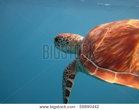 Green Sea Turtle Swimming In The Sea