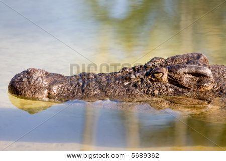 Crocodile Half Submerged