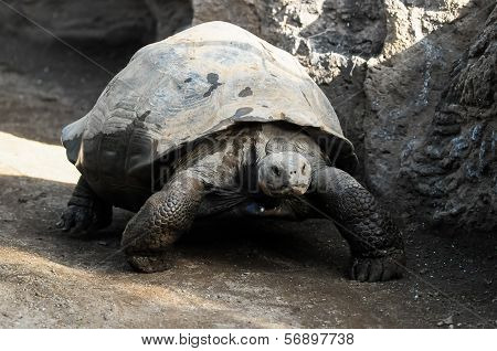 Big Galapagos Turtle