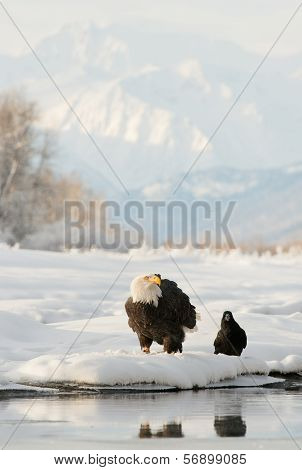 Bald Eagle ( Haliaeetus Leucocephalus ) And Black Raven.