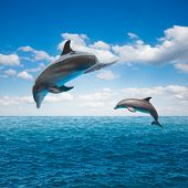 stock photo of flipper  - couple of jumping dolphins - JPG