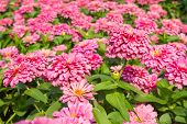 stock photo of zinnias  - Beautiful pink Zinnia flower in the garden - JPG