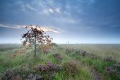 stock photo of marshes  - rowan tree on marsh with heather Drenthe Netherlands - JPG