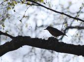 foto of mockingbird  - Small Mockingbird  - JPG