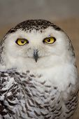 image of snowy owl  - A portrait of a single snowy owl. ** Note: Slight graininess, best at smaller sizes - JPG