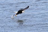 picture of fish-eagle  - Adult Bald Eagle  - JPG