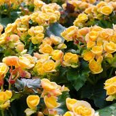 picture of begonias  - Beautiful background of yellow big begonias background - JPG