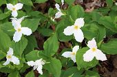 stock photo of trillium  - White Trillium flourish in the norther woodlands - JPG