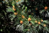 stock photo of pinus  - Pinus peuce  - JPG