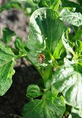 Colorado beetle on the potato leaf