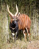stock photo of antelope  - Bongo antelope  - JPG