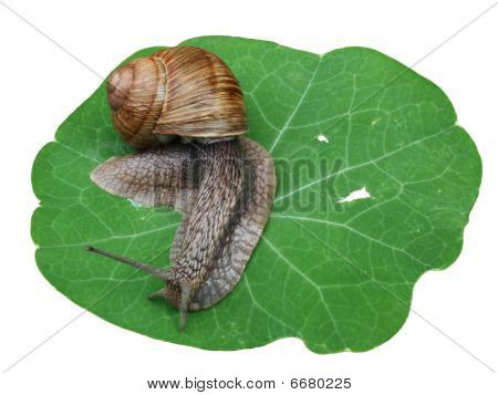 Snail On Leaf